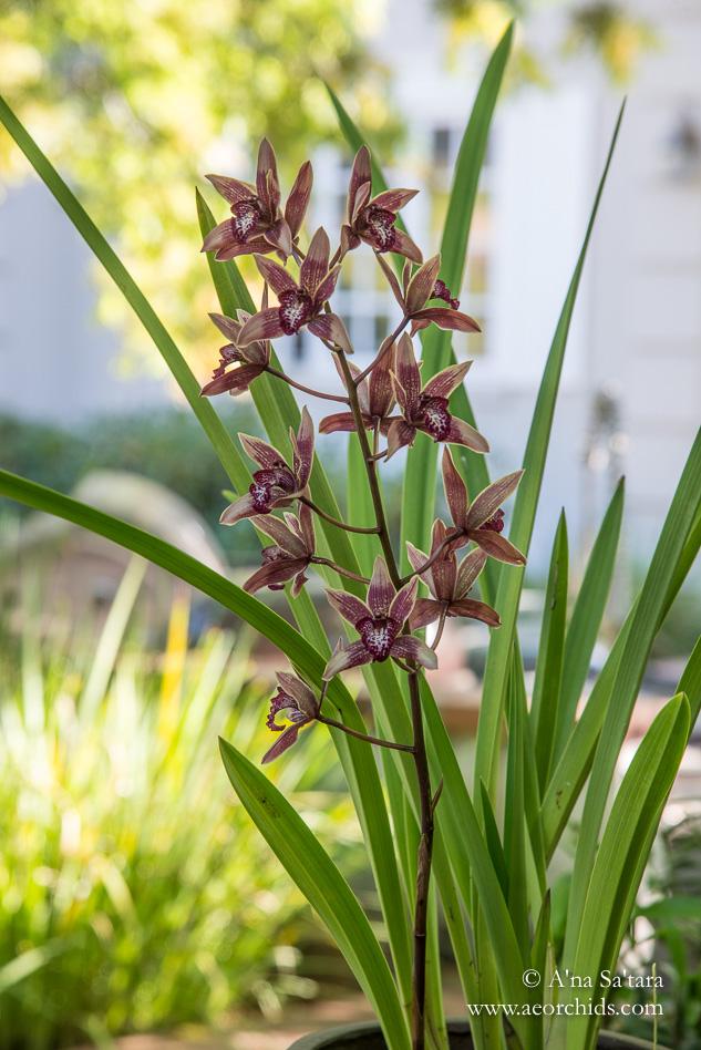 Cymbidium Canterbury 'Coburg'' orchid images