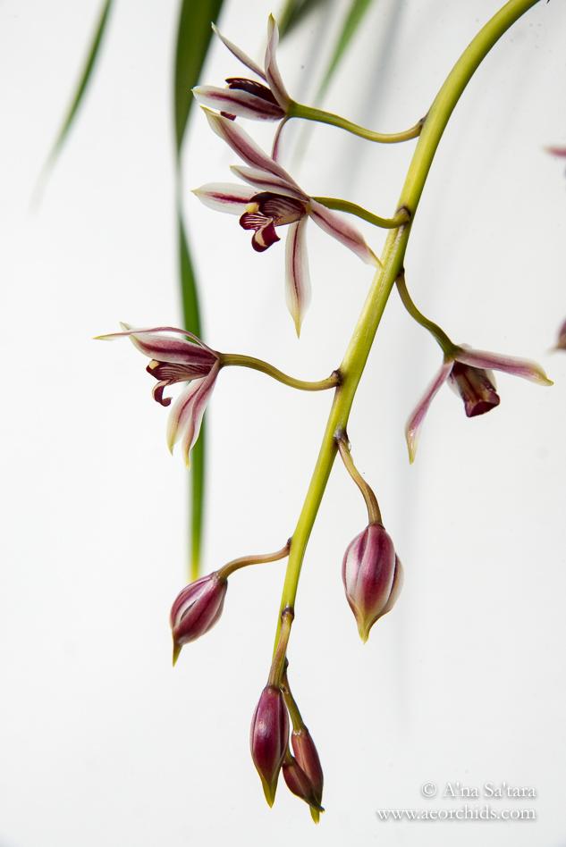 Cymbidium dayanum orchid images