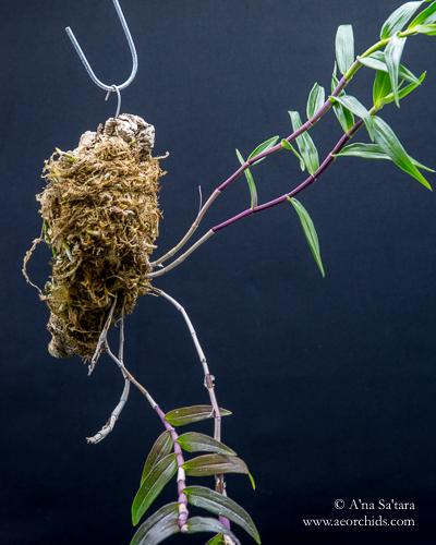 Dendrobium Eltonese