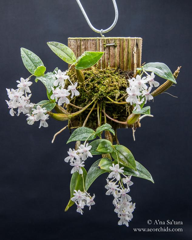 Dendrobium aberrans orchid images