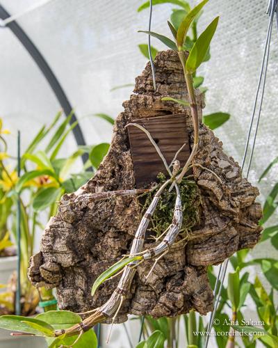 Dendrobium unicum on mount