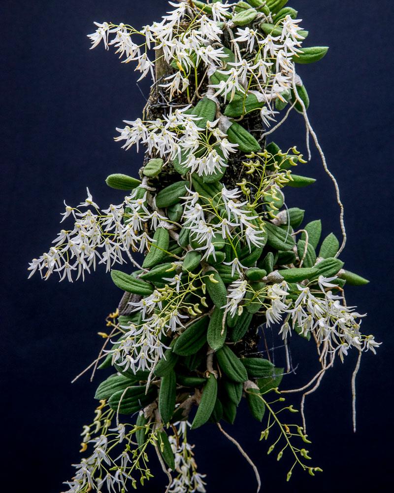 Dockrillia (Dendrobium) linguiformis