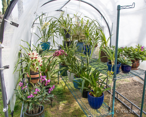 Shadehouse orchid benches