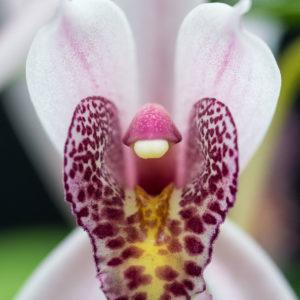 Cymbidium Cherry Blossom 'Profusion'