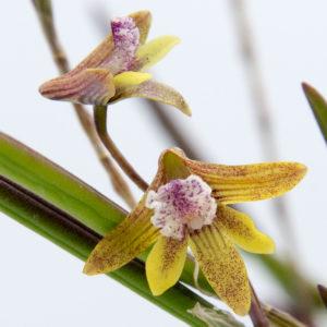 Dendrobium Ida Mary x Dockrillia Ida Mary