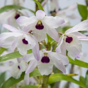 Dendrobium Nagasaki 'Cherry Blossom''