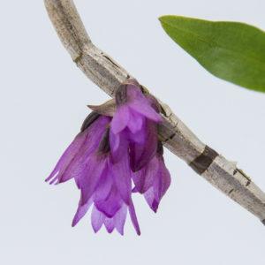 Dendrobium gnomus