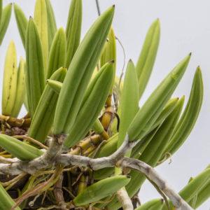 Dendrobium wasselli