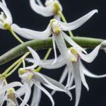 Dockrillia wasselli subsp