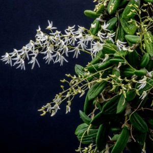 Dockrillia (Dendrobium) inguiformis