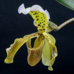 Paphiopedium Leeanum