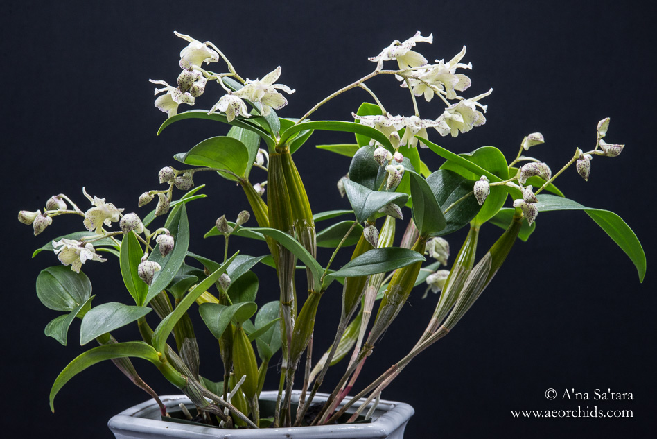 Dendrobium Aussie (Micro) Chip orchid images