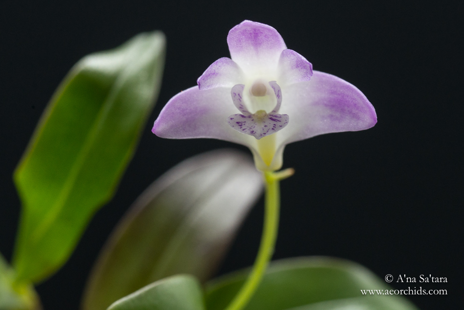 Dendrobium kingianum var. pulcherrimum orchid images