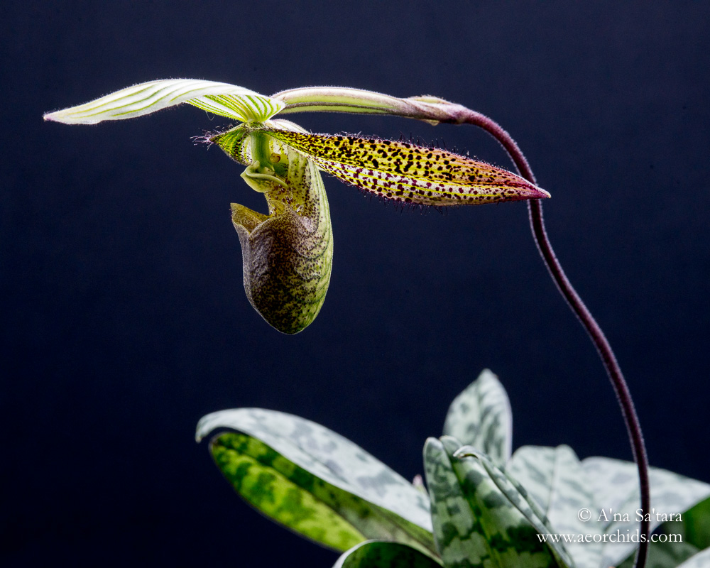 Paphiopedilum wardii orchid images