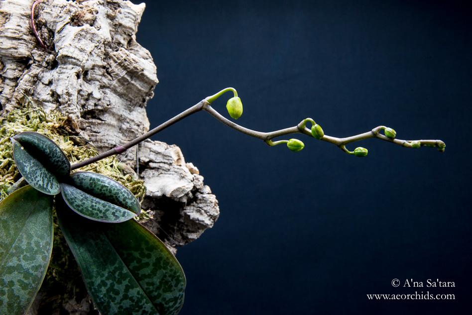 Phalaenopsis stuartiana 'Sogo'