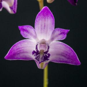 Dendrobium kingianum 'AEO' 2