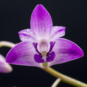 Dendrobium kingianum 'AEO'