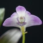 Dendrobium kingianum var. pulcherrimum