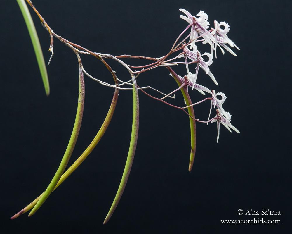 Dockrillia (Dendrobium) Rosemary Jupp orchid images