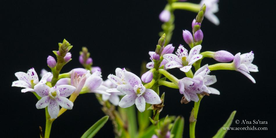 Epidendrum fimbriatum orchid images