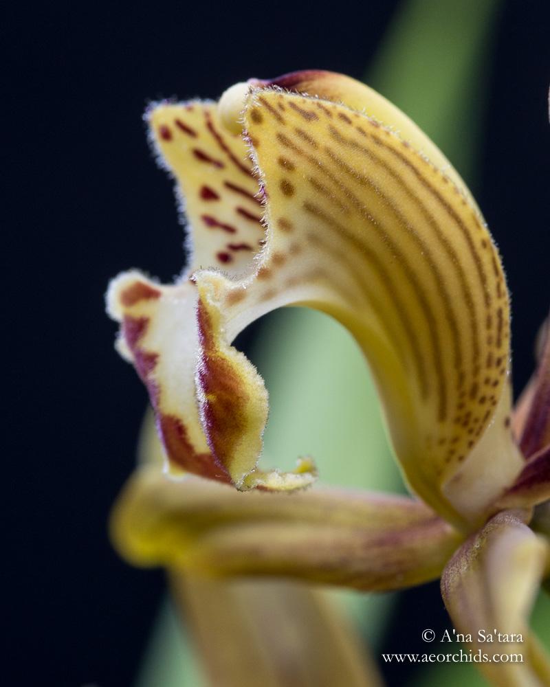 Cymbidium schroederi orchid images