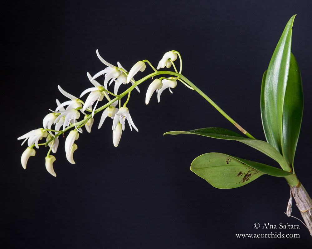 orchid images Dendrobium Ruppiosum