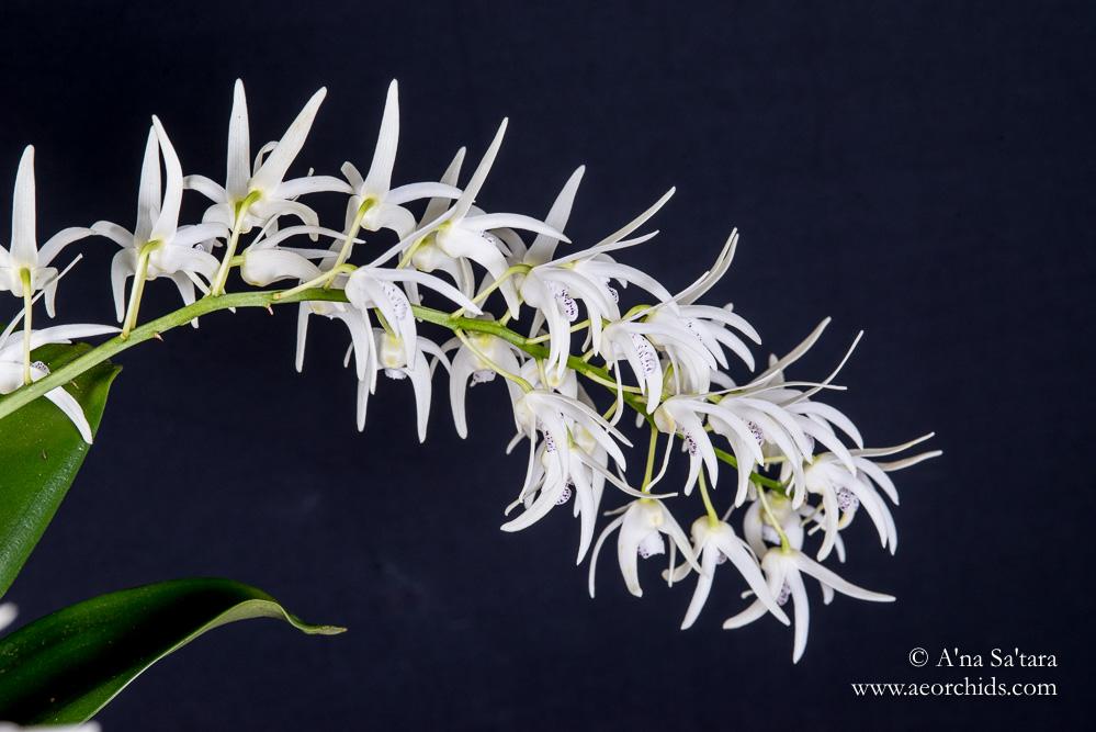Dendrobium Ruppiosum