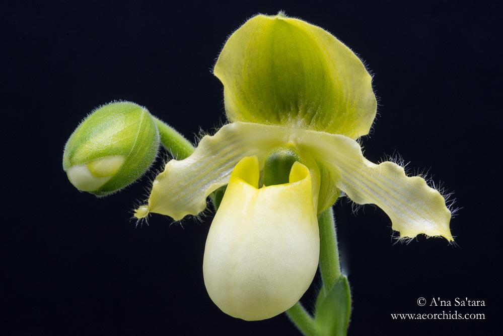 Paphiopedilum primulinum var. flavum orchid images