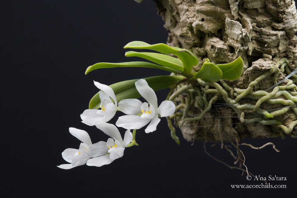Sarcochilus falcatus orchid images