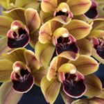 Cymbidium Geno's Gem Emerald Fire