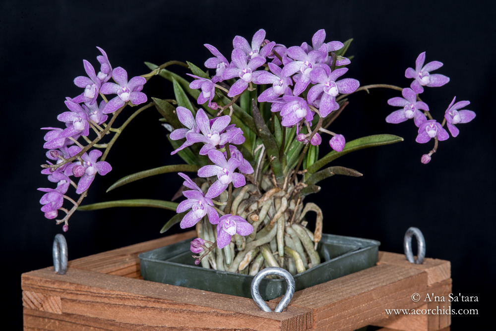 Sarcochilus ceciliae orchid images