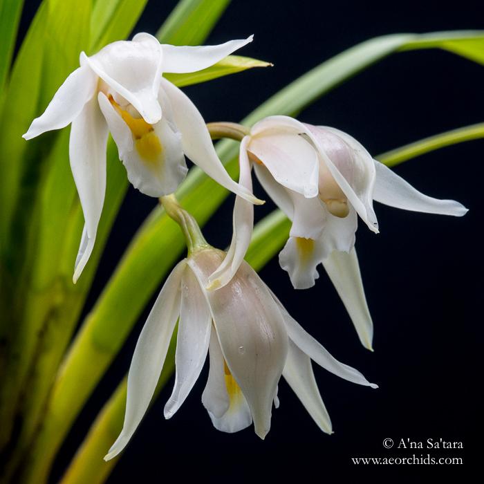 Cym (eburneum) pseudoballianum orchid images