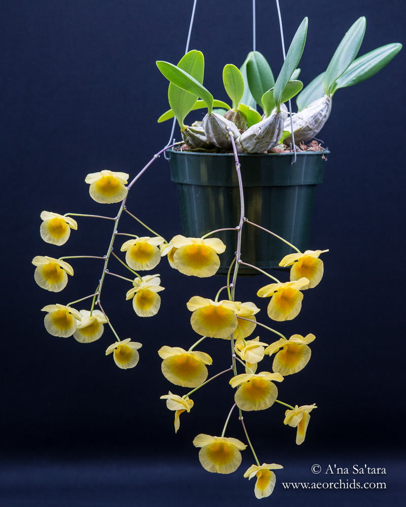 Dendrobium lindleyi  orchid images