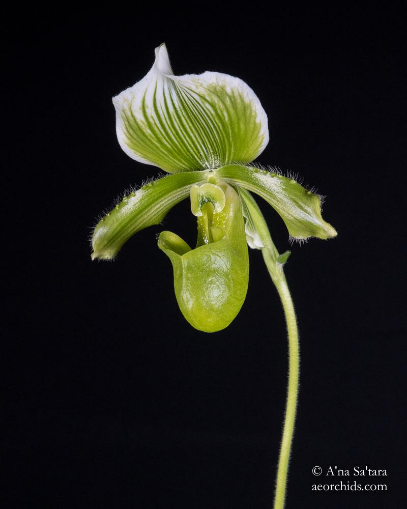 Paphiopedilum lawrenceanum fma. hyeanum