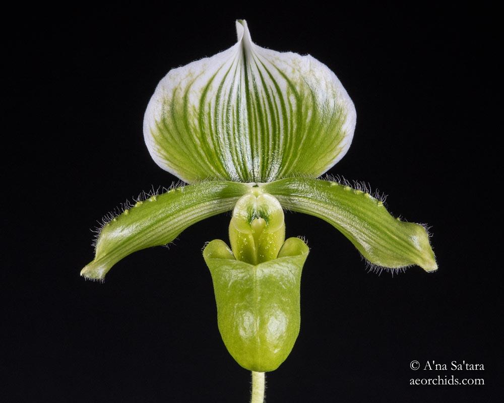 Paph lawrenceanum fma. hyneanum