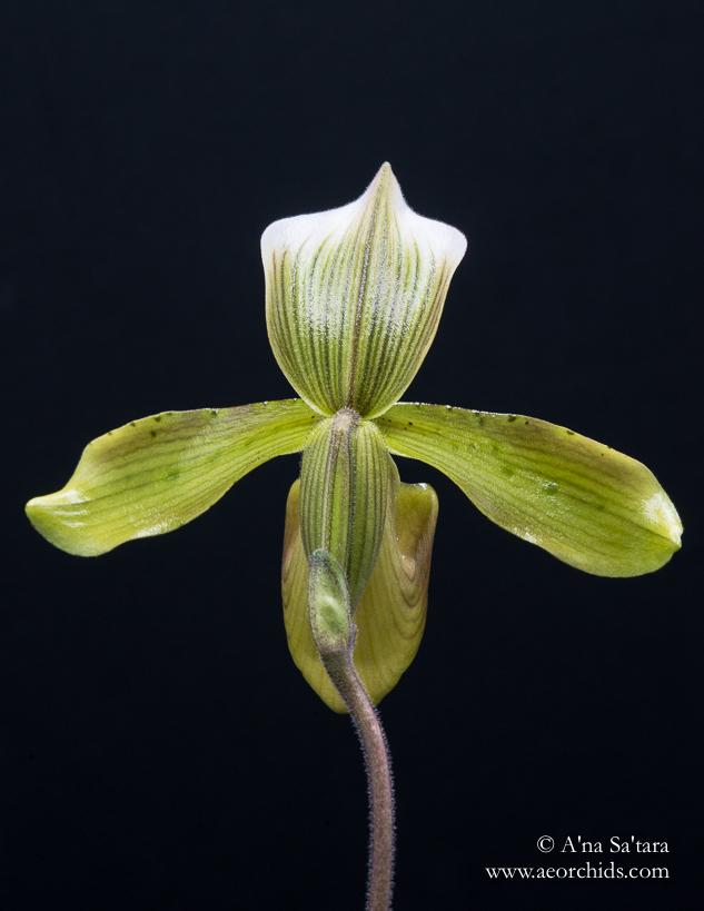 Paphiopedilum tonsum orchid images