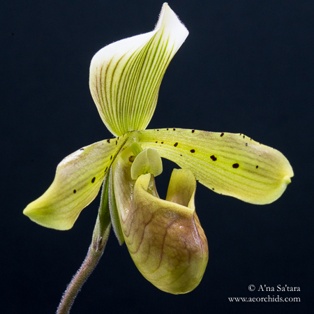 Paphiopedilum LED light orchids