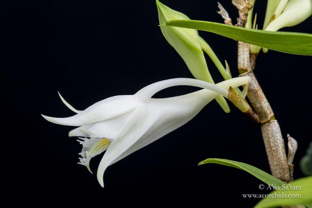 Dendrobium longicornu 'Ernie' orchid images