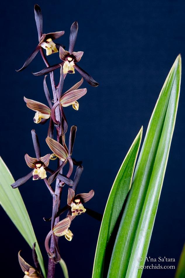 Cymbidium sinense 'Chin Hua Shan' HCC/AOS orchid images