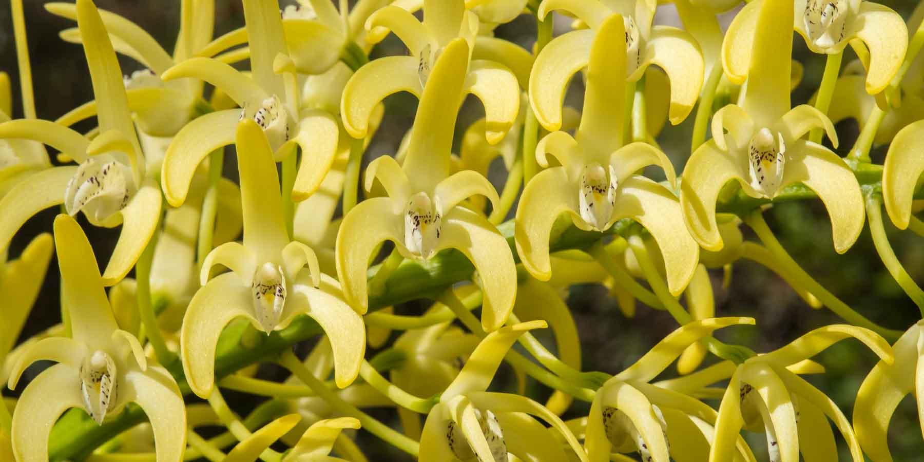 Australian Dendrobiums