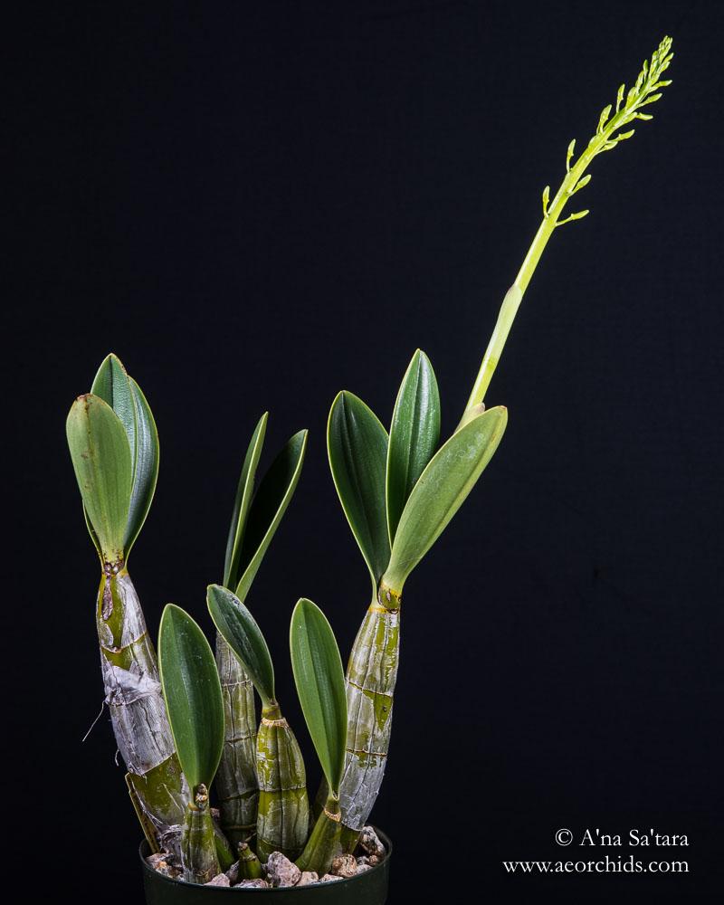 Dendrobium speciosum var. capricornum orchid images