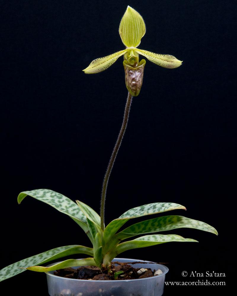 Paphiopedilum sugiyamanum orchid images