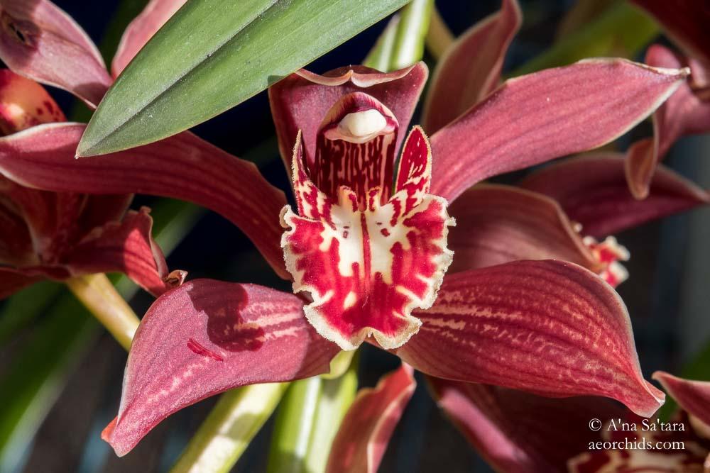 Cymbidium Pywacket 'Heatherrich Hills' orchid images