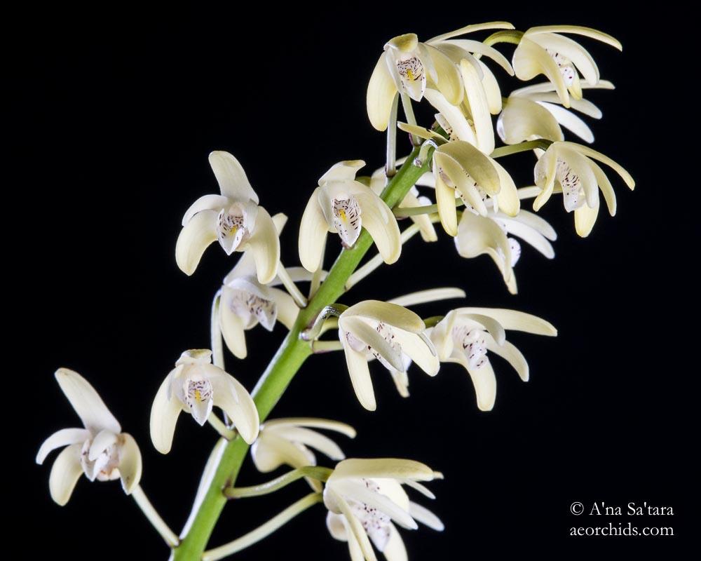Dendrobium speciosum var. pendunculatum orchid images