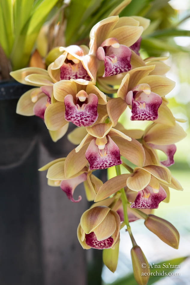 Cymbidium Mary Green 'AEO'