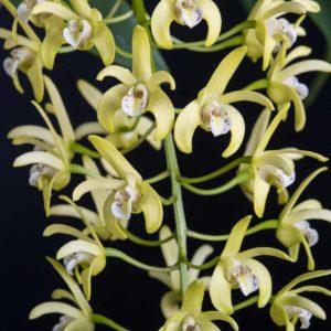 Dendrobium Gracilimum Orchid Image
