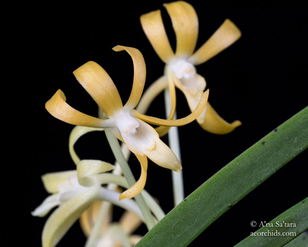 Vanda (Neofinetia) falcata yellow