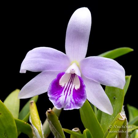 Laelia Cattleya orchid taxonomy