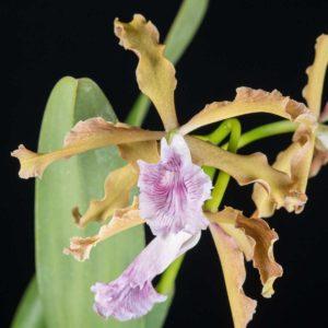 Cattleya Laelia grandis