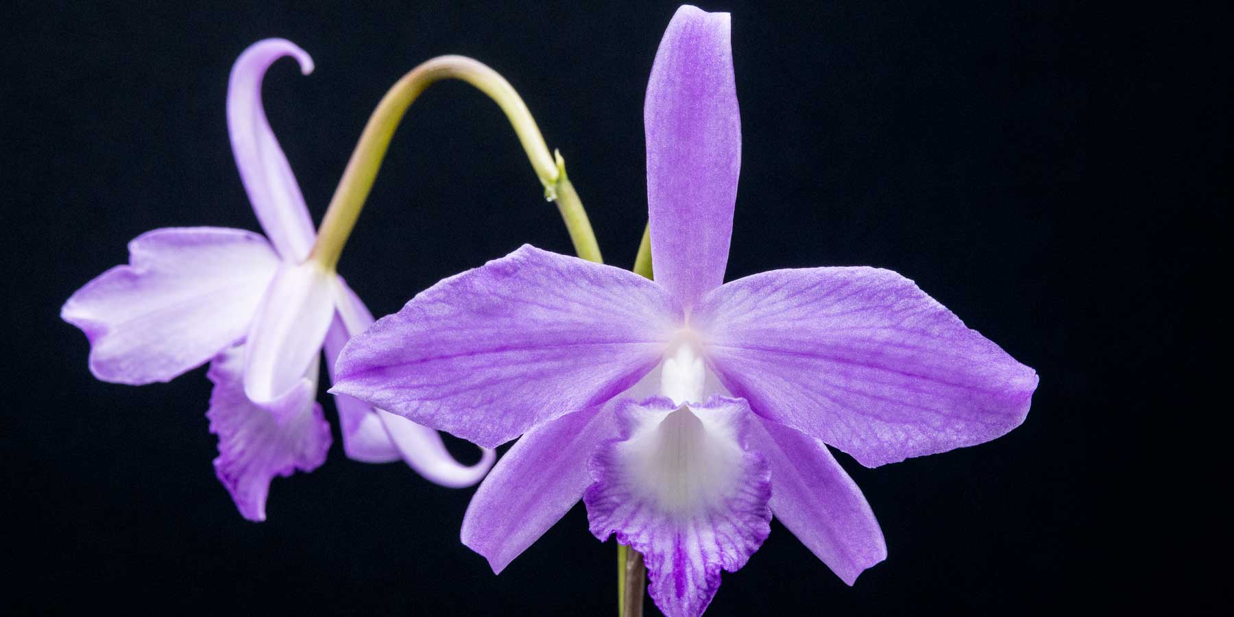 Brazilian Laelia & Cattleya Alliance